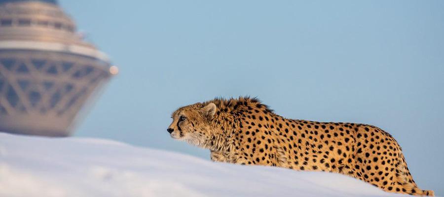 Asiatic Cheetah; The Symbol of Wildlife of Iran